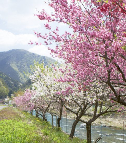 明宝の春の花名所3か所をご紹介!