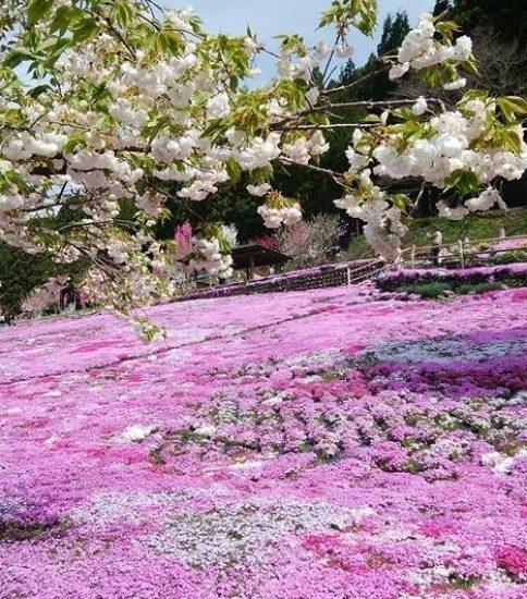 芝桜のお花畑お手伝い企画!